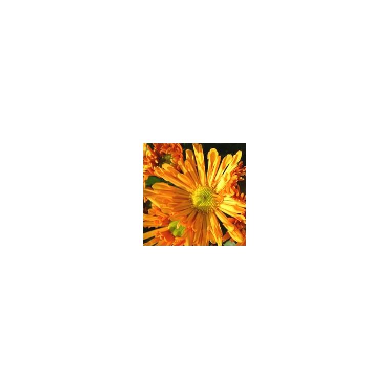 Chrysanthème multifleurs arlequin. La jardinière de 25 cm 809208