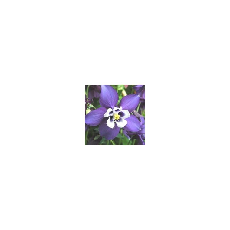 Ancolie. La barquette de 6 plants 319194