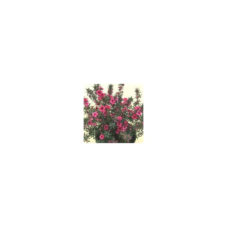 Chamelaucium ou Wax Flowers rose 40/50 cm en pot de 10 L 315244