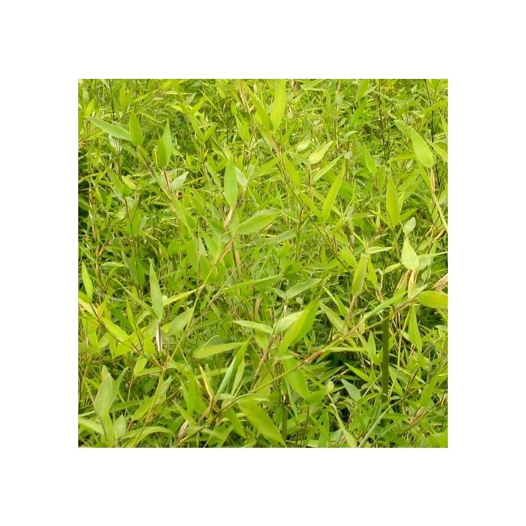 Bambou Phyllostachys Aurea Jaune 100/150 cm en pot de 12 L 951364