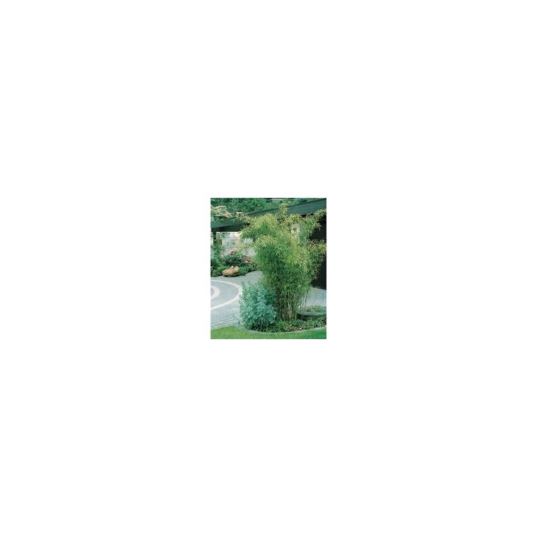 Bambou Phyllostachys Bissetti vert en pot de 5 L 479219
