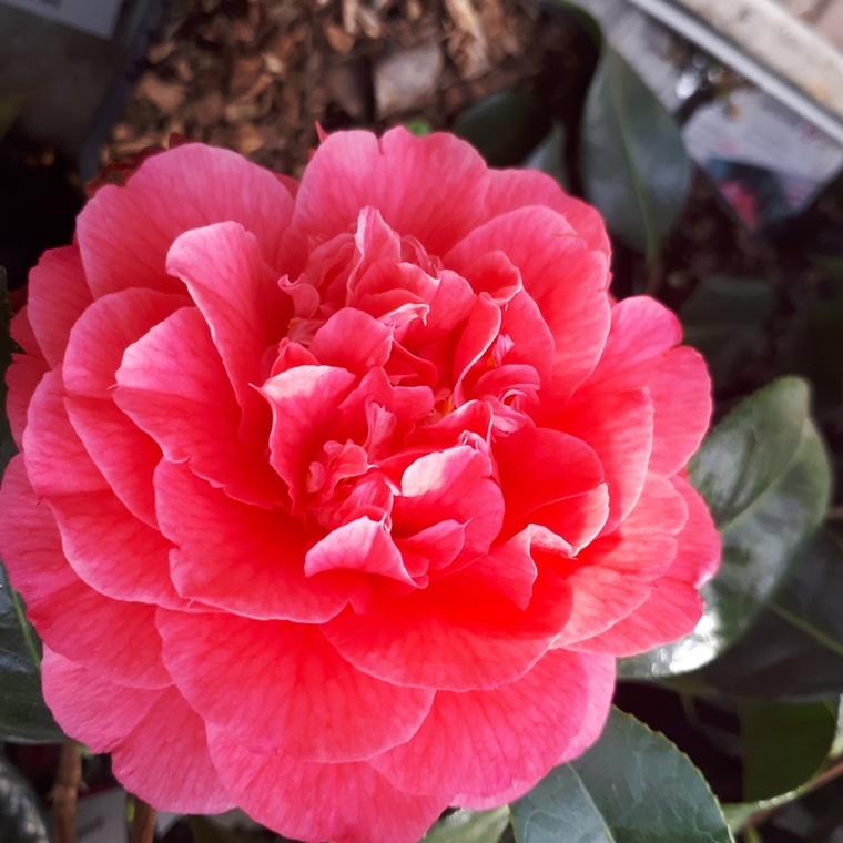 Camélia du Japon Rose – Pot de 15L 961583