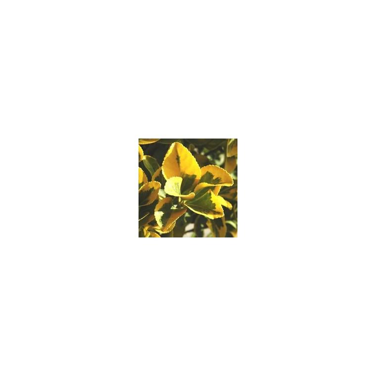 Euonymus Japonicus Elegant Aureus jaune 80/100 cm en pot de 18 L 836481