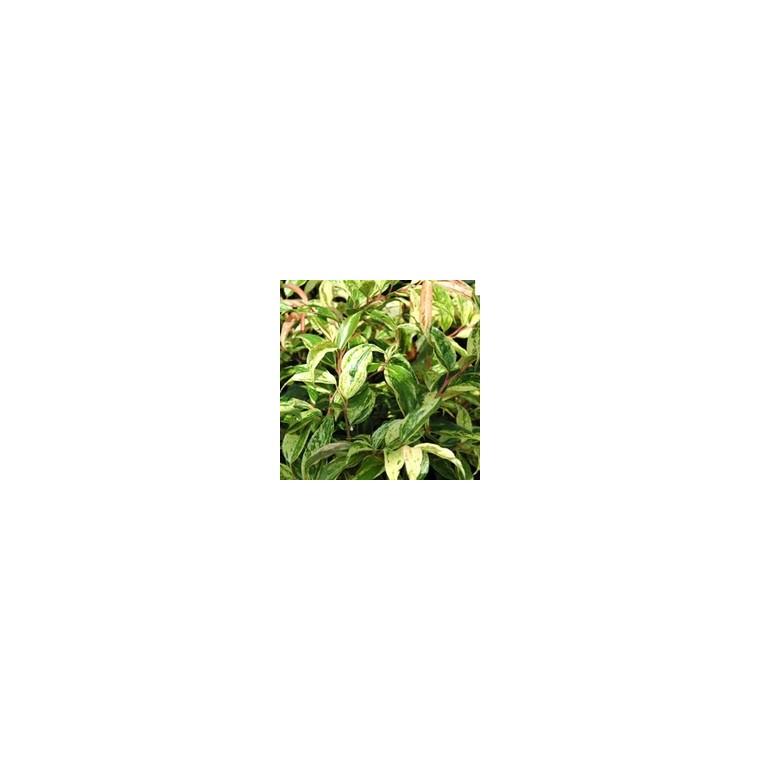 Leucothoe. Le pot de 10.5 cm 963331