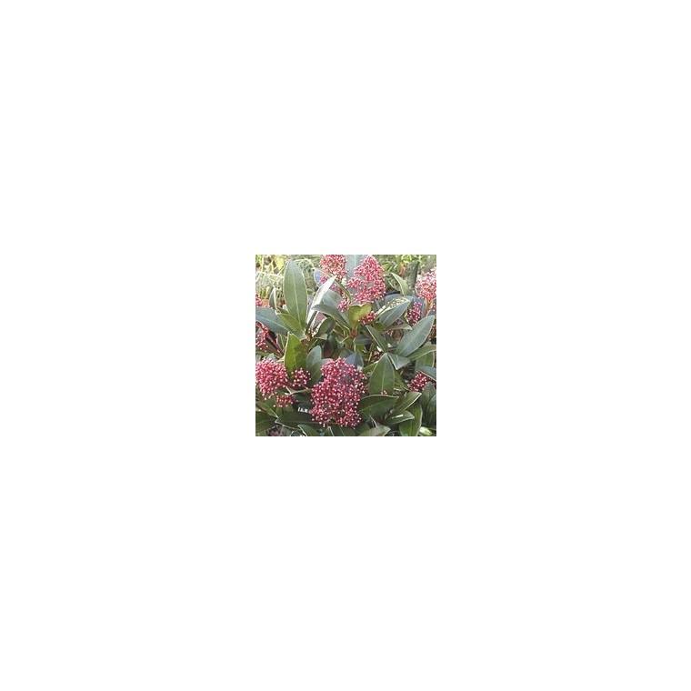 Peperomia Polybotrya rouge botanic® + pot de couleur 380317