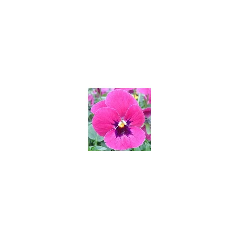 Pensée à grandes fleurs. Le pot de 10,5 cm 791695