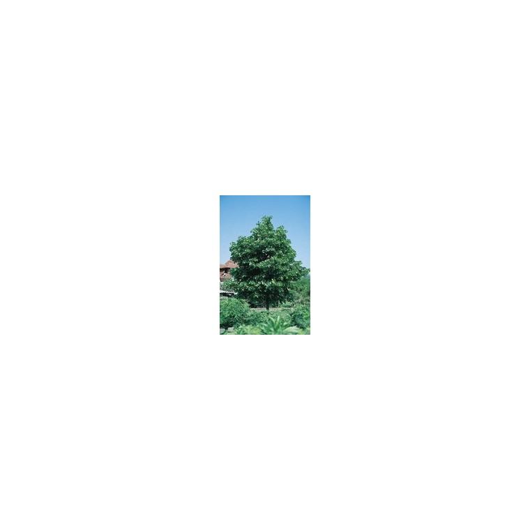 Tilia Cordata ou Tilleul à petites fleurs Tige 8/10 cm en pot de 18 L 964920