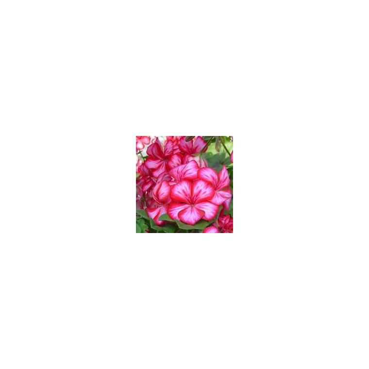 Géranium lierre à grandes fleurs. La jardinière de 50 cm 613307