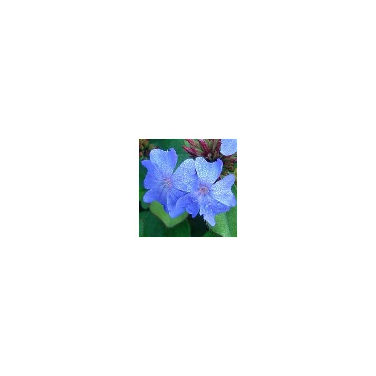 Ceratostigma Plumbaginoides. La barquette de 6 plants 970767