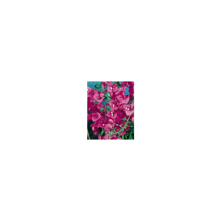 Bougainvillier Varié 1/2 tige – Pot de 3L 394901