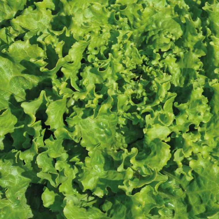 Laitue Batavia Verte Kerilis bio. La barquette de 12 plants 974988