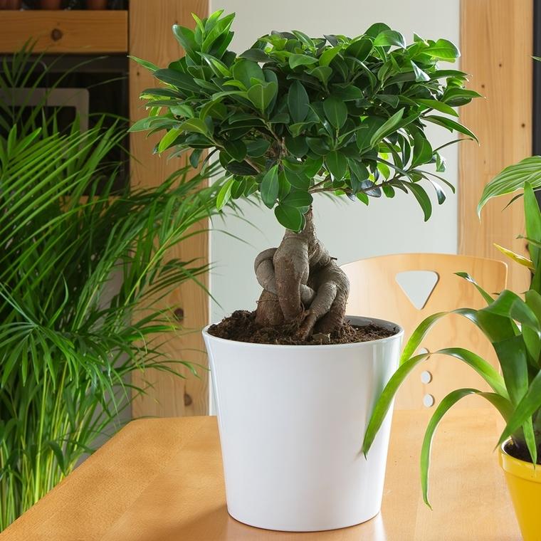 Ficus Microcarpa Ginseng + cp 98699