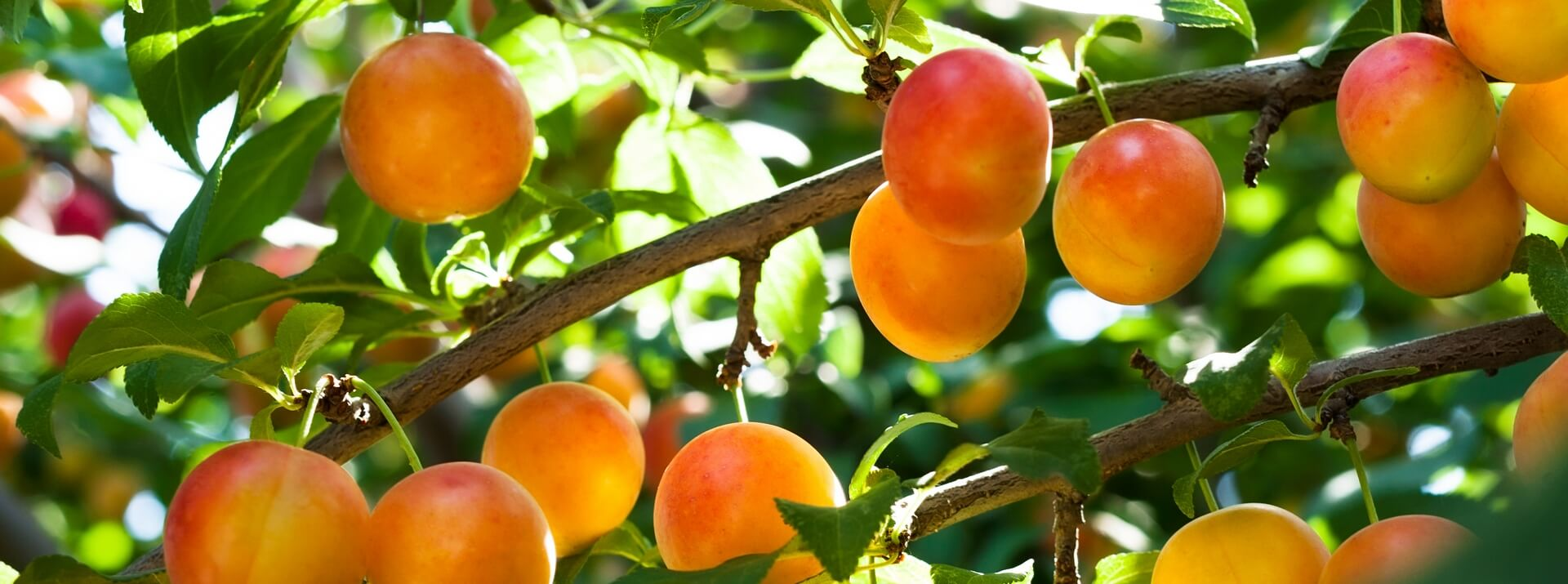 Fruitiers et fruitiers nains