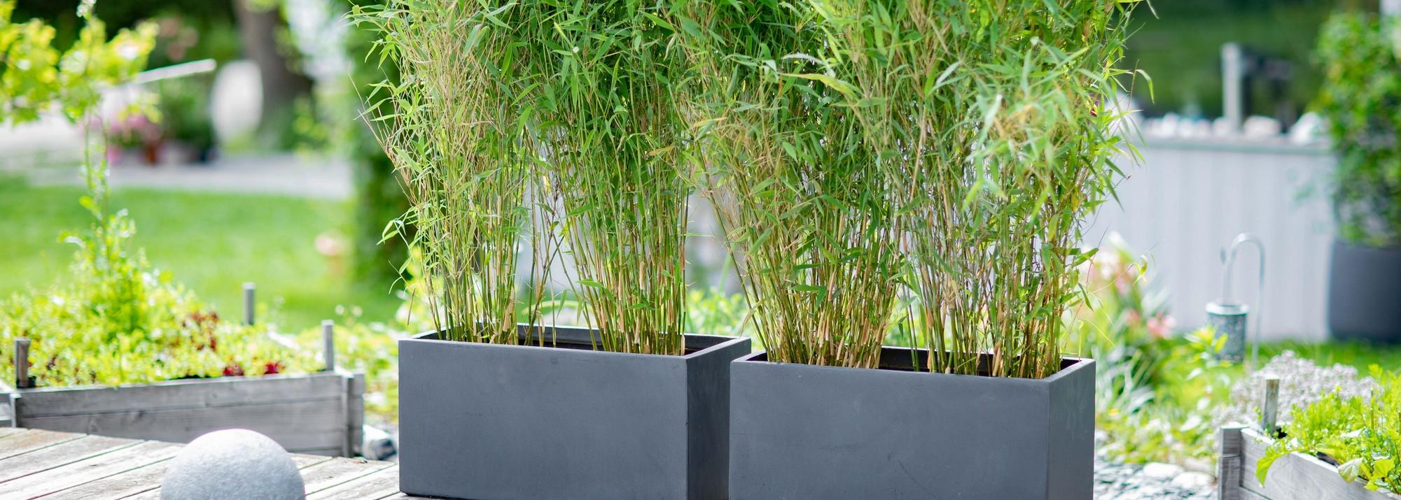 Quelle Plante En Pot Pour Terrasse bambou pour balcon et terrasse : botanic®, bambou fargesia