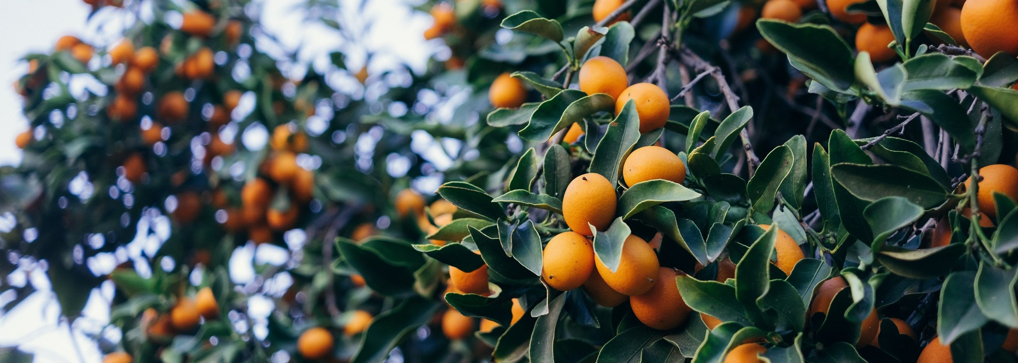 Arbre Fruitier En Pot Interieur arbres fruitiers : tous les arbres fruitiers nains et