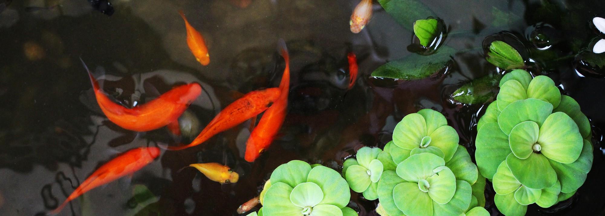Poissons de bassin