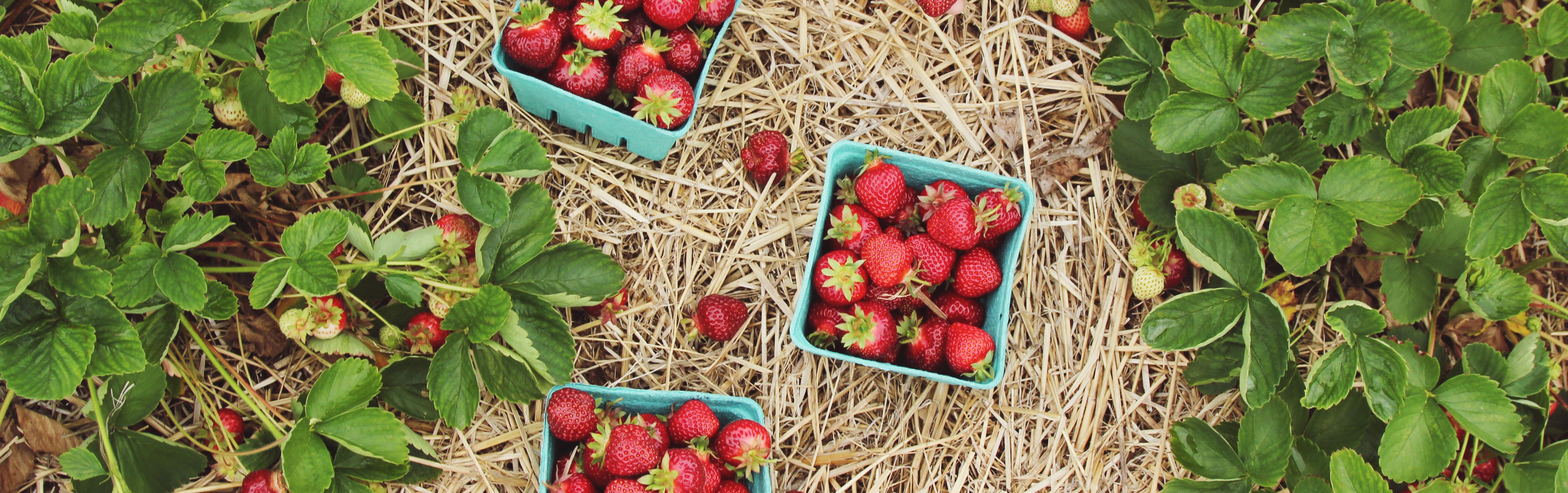 Comment Entretenir Les Fraisiers En Automne fraisiers : plantes pour le potager et potager - botanic®