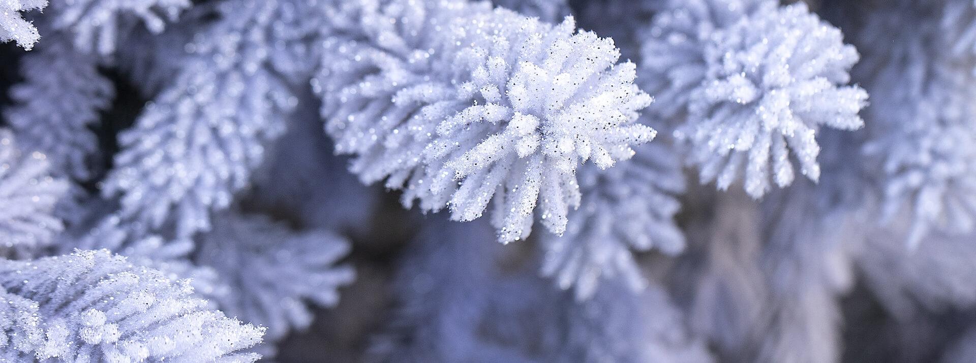 Sapins naturels glacés