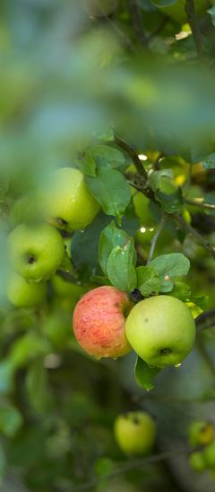 La monodiète de pommes
