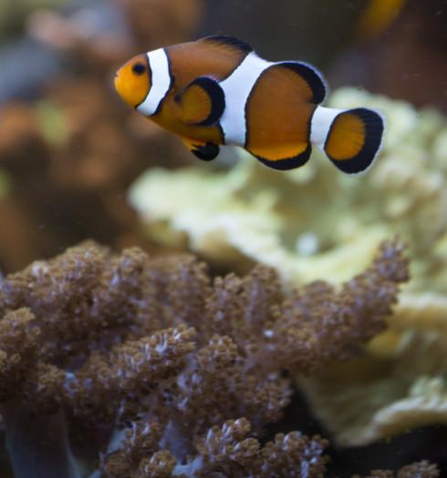 En quoi consiste la culture de coraux?