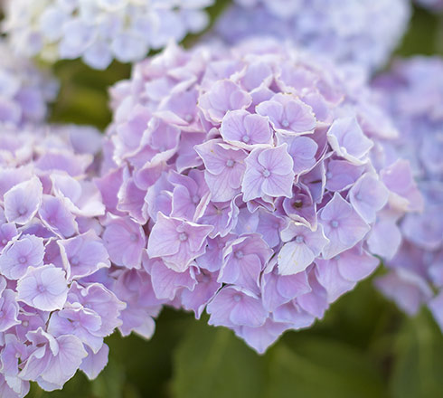 Gamme hydrangeas «Magical» : le must de l'hortensia