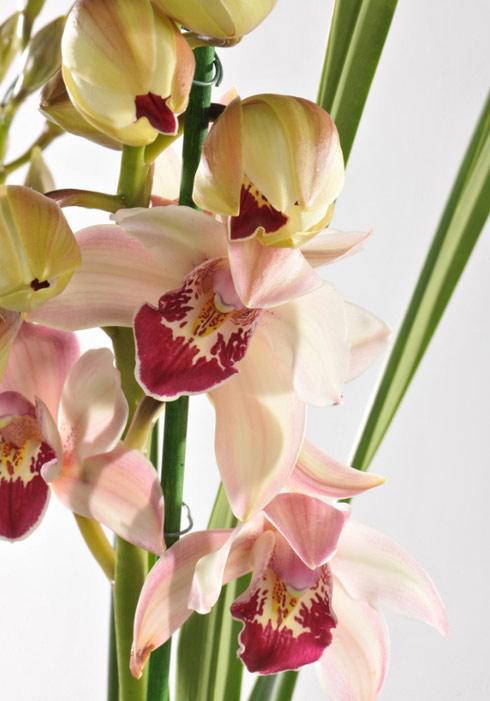 Cymbidium: origines et variétés de la moins exigeante des orchidées