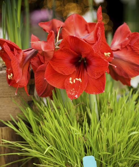 L 39 amaryllis quand bulbe d 39 automne deviendra fleur d for Amaryllis planter bulbe