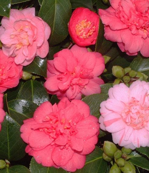 Origines du camélia: à la découverte de la variété japonaise