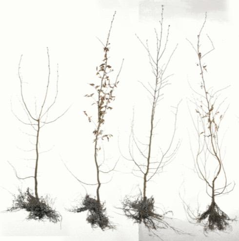 Pourquoi opter pour des racines nues?