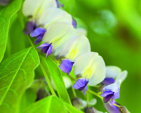 Comment planter la glycine ?