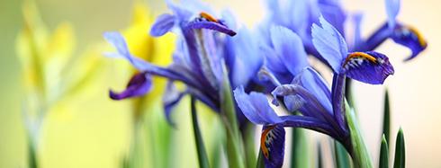 Comment planter les iris?