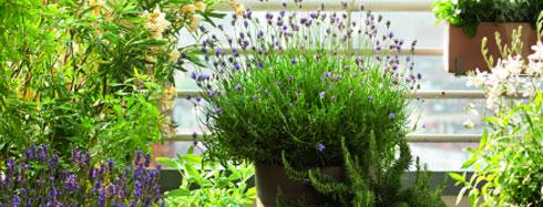 les lavandes des filles du sud planter la lavande botanic botanic. Black Bedroom Furniture Sets. Home Design Ideas