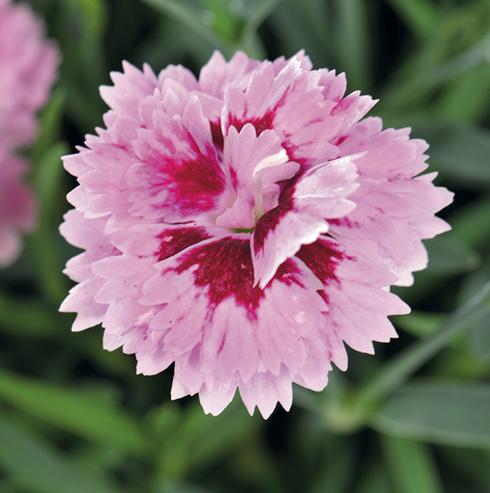 Les oeillets Diantica, un brin de romantisme : conseil jardin ...