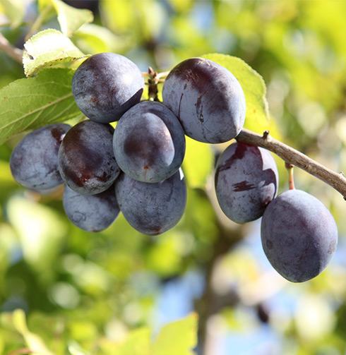 Choix du prunier: petit détour par les rayons Botanic®