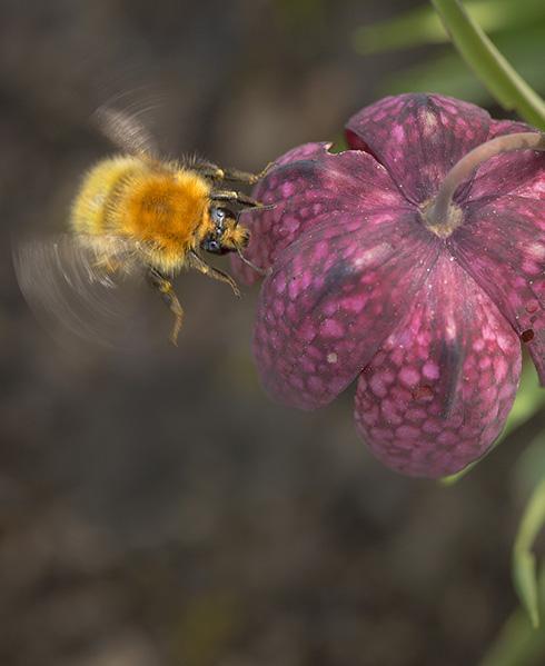 Grands pollinisateurs : quand l'équilibre de l'écosystème ne tient qu'à un fil