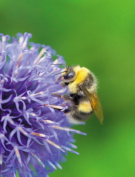 objectif-pollinisation-des-bourdons-dans-le-jardin_3