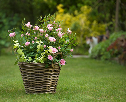 planter-ses-rosiers_30