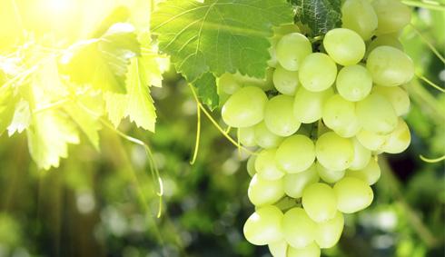 L'entretien de la vigne