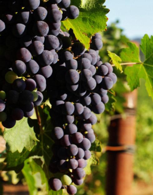 Comment tailler la vigne ?