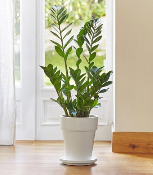 zamioculcas lumi re sur la rustique et l gante plante zz botanic. Black Bedroom Furniture Sets. Home Design Ideas