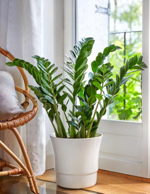 Quels pots pour nos zamioculcas décoratives ?