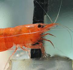 Crevettes : osez les pattes en aquarium!
