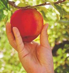 Planter votre arbre fruitier en trois étapes