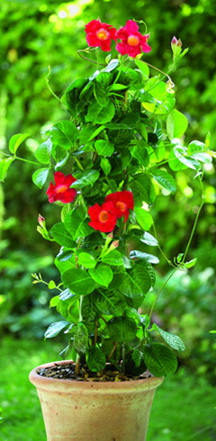 diplad nia la belle tropicale botanic notre page conseil sur la dipladenia botanic. Black Bedroom Furniture Sets. Home Design Ideas