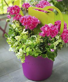G raniums les stars de l 39 t conseil balcon terrasse botanic botanic - Quand planter les geraniums ...