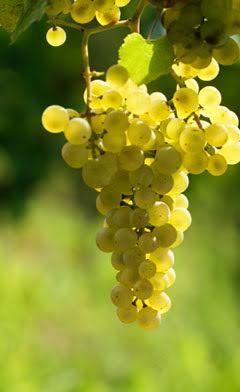La monodiète de raisins