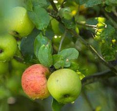 Les arbres fruitiers, croquez la vie