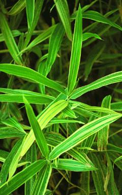 Les bambous, plantes exotiques