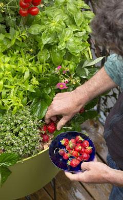 Les fraisiers, cultiver la gourmandise