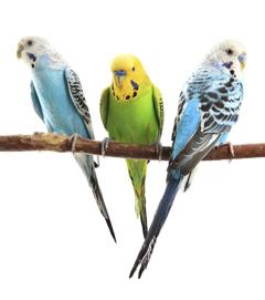 Perruche ondulée et calopsitte : des oiseaux qui en ont sous les plumes